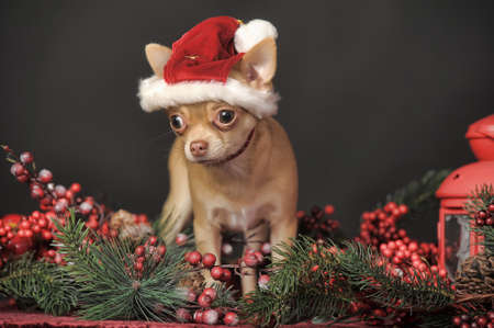 pet new years new year pup: Christmas portrait of a Chihuahua in christmas hat.