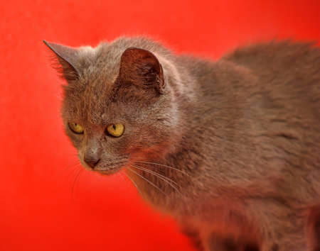 gray cat: gray cat on a red background
