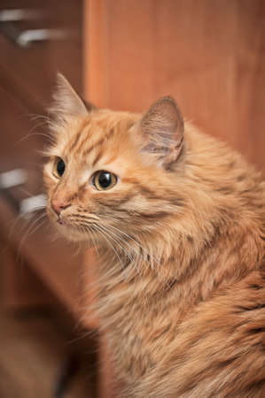 Charming fluffy ginger cat photo