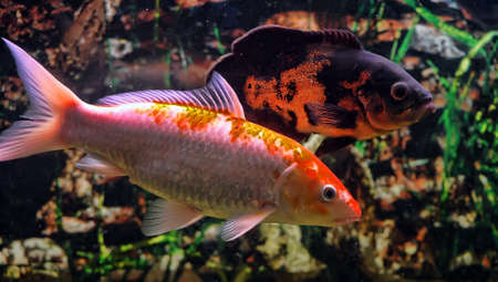 peacock cichlid: Red fish in the aquarium. Stock Photo