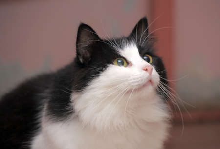A close up of a big black and white cat. Stock Photo