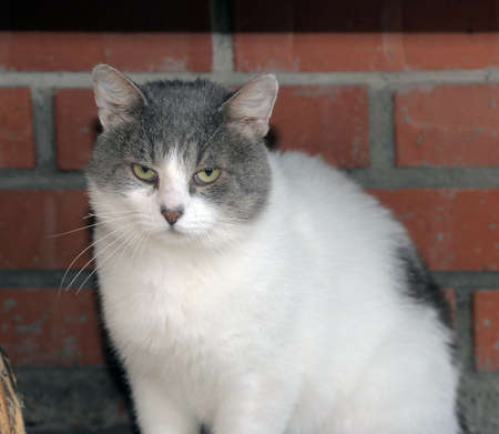 potbellied: Plump white with a gray cat Stock Photo