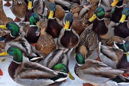 wintering: A lot of hungry ducks wintering.