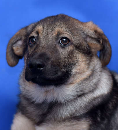 Crossbreed puppy shepherd dog on a blue background photo