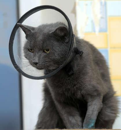 grey cat: Grey Cat Wearing Cone Collar.