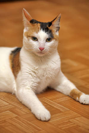 colden: White with red and black patches cat.