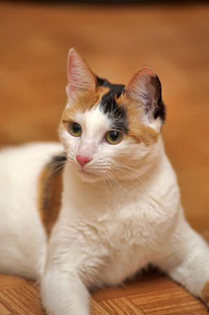 White with red and black patches cat.