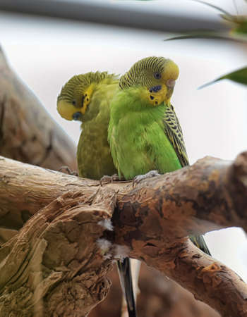parrot tail: Two yellow-green budgies on a branch.