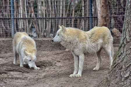 wolf couple: Two white wolf in a zoo of Berlin. Stock Photo