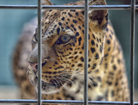 zagreb: Leopard looking out from a wire fence.