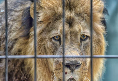 Large lion behind bars in zoo.