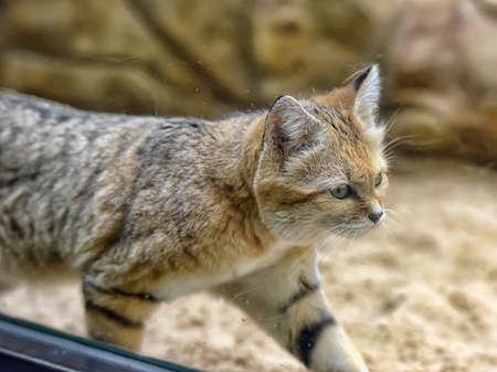 very: A very grumpy looking Arabian Sand Cat. Stock Photo