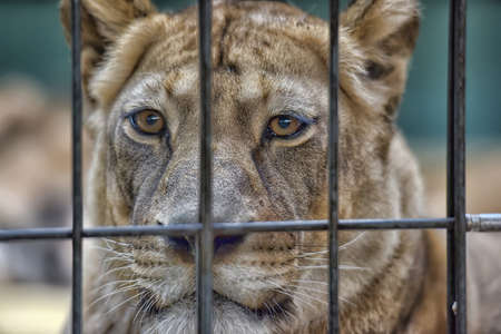 Lion female or lioness behind bars in cage in zoo.