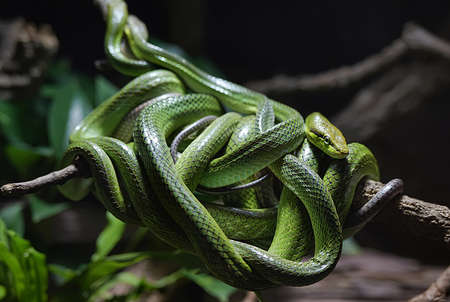 defensive posture: Tangle of green snakes around branch. Stock Photo