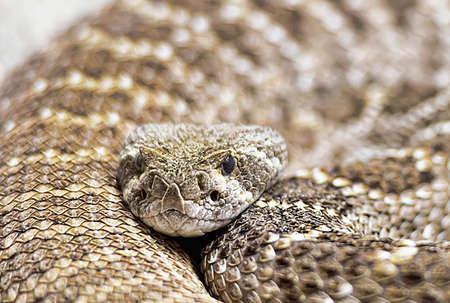 serpiente de cascabel: Close-up retrato de una serpiente de cascabel.