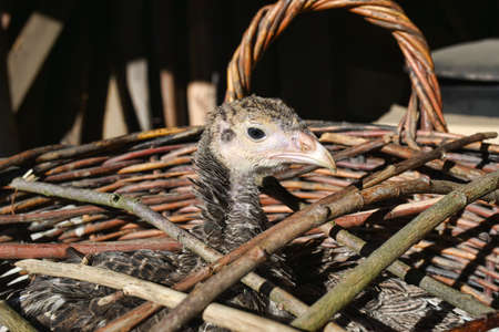 Young turkey chick in a wicker basket.