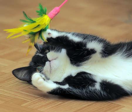 Gato blanco y negro que juega con un juguete con las plumas.
