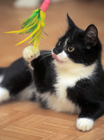 Black and white cat playing with a toy with feathers. Stock Photo