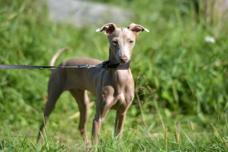 Peruvian Hairless Dog Peruvian Inca Orchid, the Inca Hairless Dog.