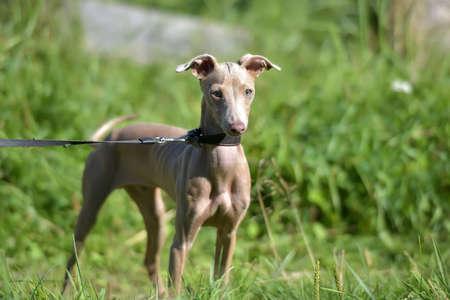 hairless: Puppy Peruvian Hairless Dog
