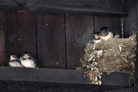 forked tail: Barn Swallow Chicks in nest with ticks.