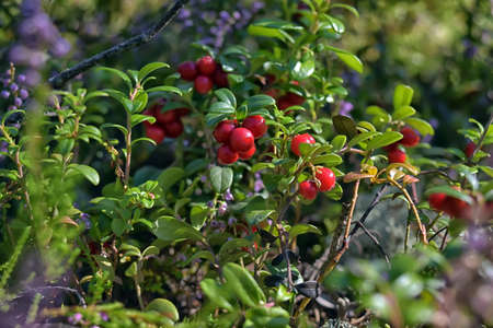bush to grow up: Cowberries shrub with red berries.