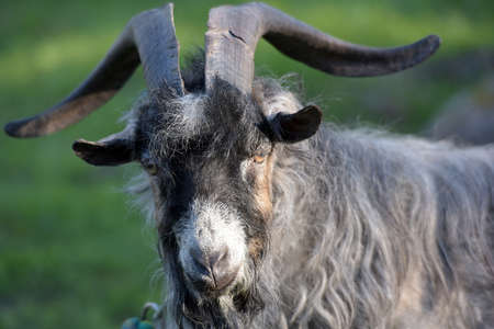 pygmy goat: Home gray goat with big horns.