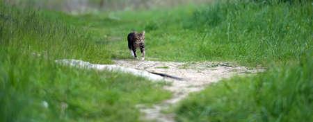 arlecchino: cat Arlecchino con camminare nell'erba. Archivio Fotografico
