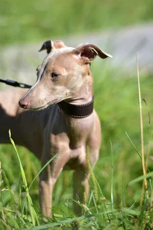 hairless: Peruvian Hairless Dog (Peruvian Inca Orchid, the Inca Hairless Dog).