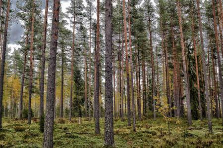 A beautiful pine forest in the summer.