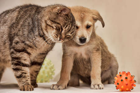 Fat tabby cat and a small puppy.