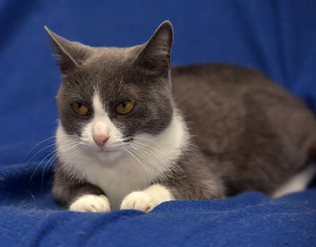 colouration: Gray and white shorthair cat on a blue background.