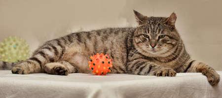 naptime: Fat tabby cat European Shorthair. Stock Photo