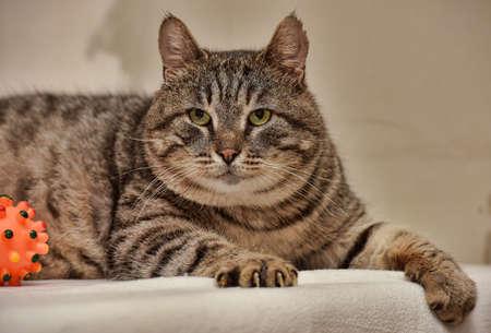 太い縞模様の猫