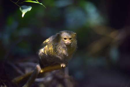 pygmy: The pygmy marmoset sitting on the wood.