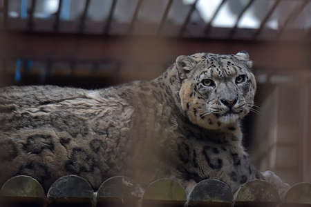 zoo youth: Snow Leopard in a cage.