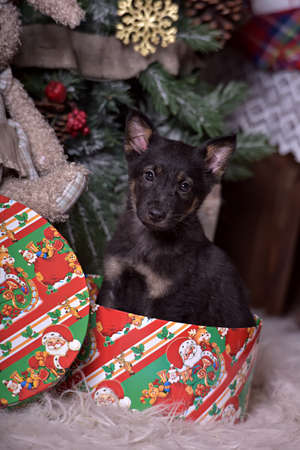 pet new years new year pup: Black puppy at the Christmas tree in a box for gifts.