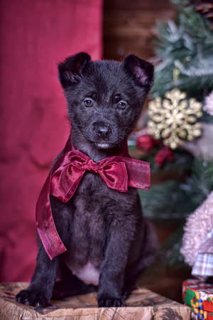 pet new years new year pup: Black puppy with a red bow on neck.