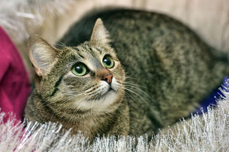 Shorthair tabby cat with green eyes. Stock Photo