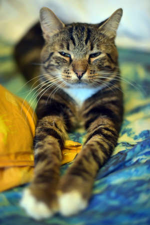 cat stretching: Chic striped cat is stretching his front paws. Stock Photo