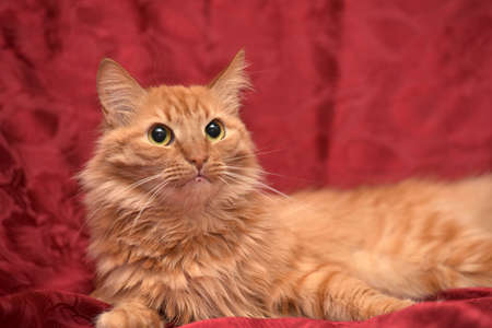 accosting: red fluffy cat on a red background