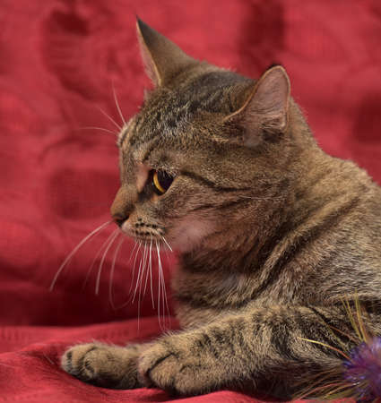 Tabby cat on a red background. Stock Photo