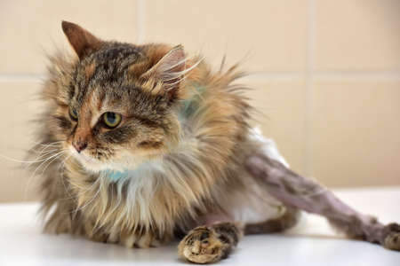 suffered: Sick cat who suffered an injury of the spine, causing his paralysis of one limb in diapers.