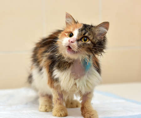 treated: Cat being treated at veterinary hospitals. Stock Photo