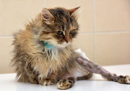 suffered: sick cat who suffered an injury of the spine, causing his paralysis of one limb in diapers Stock Photo