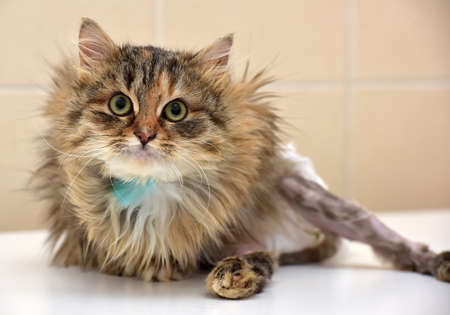 limb: Sick cat who suffered an injury of the spine, causing his paralysis of one limb in diapers.