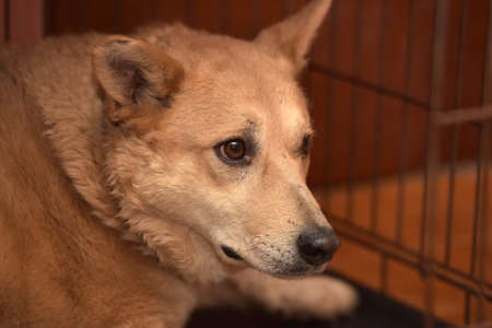 Red dog in a cage at the shelter.
