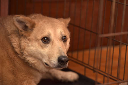 perro asustado: perro rojo en una jaula en el refugio.