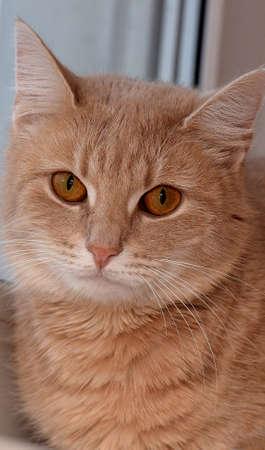 Beautiful peach cat on a window sill.