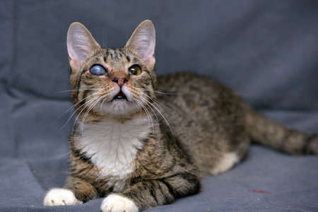 cataracts: Tabby cat with cataracts in the eye on a gray background. Stock Photo